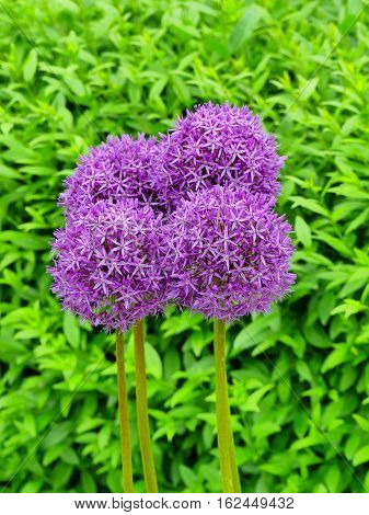 This is a wonderful allium giganteum. It is in an open park in Zülpich. Zülpich is a small town in Germany.