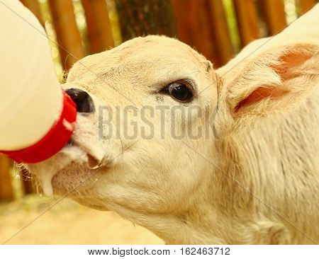 white calf drink milk from nipple bollte