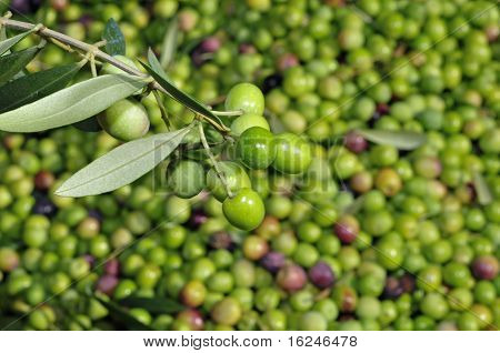 a pile of olives after the harvesting in an olive grove in Catalonia, Spain