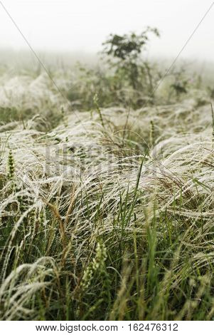 Feather Grass In The Wind Against A Background Of Fog