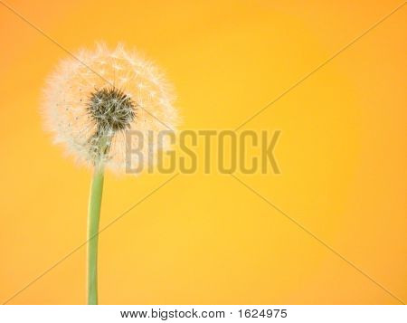 dandilion bloom to seed on a yellow