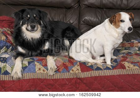 Jack Russell Terrier And Border Collie
