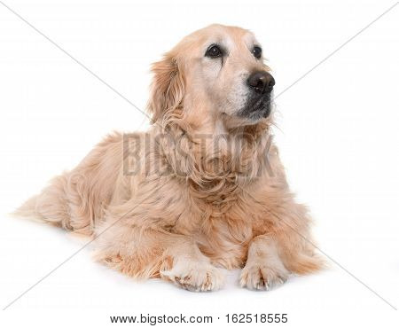 old golden retriever in front of white background