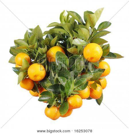 Naranjo aislado