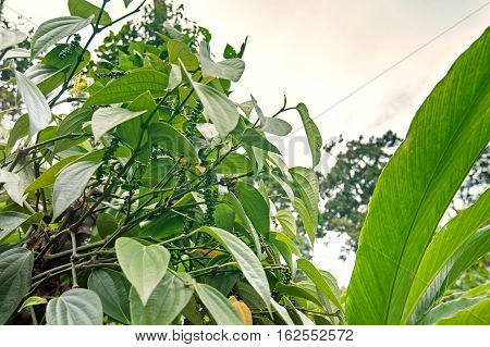 Black pepper plants growing in Munnar Kerala Idukki district India