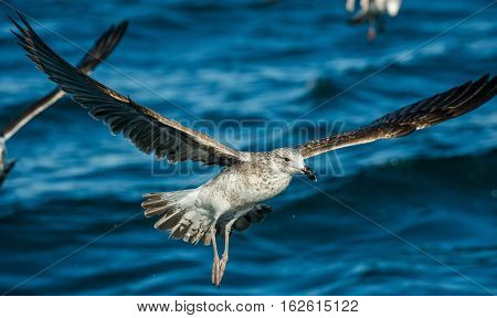 Flying Juvenile Kelp Gull (larus Dominicanus), Also Known As The Dominican Gull And Black Backed Kel