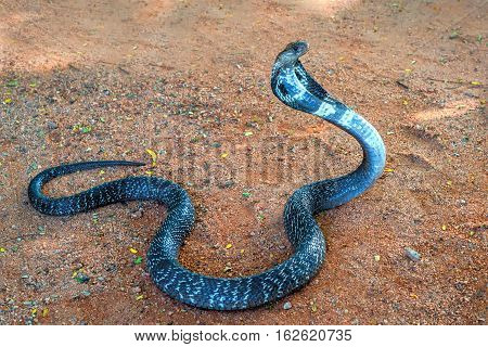 Wild Indian cobra on ground raising its head and spreading its hood