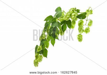 Hop cone  beer ferment isolated on white background