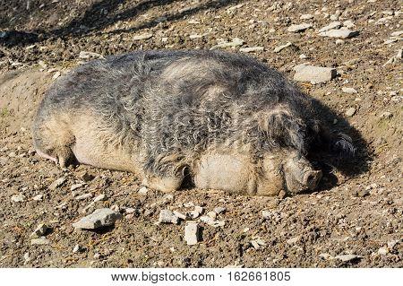 European wild boar in the mud in the warm summer sun lying.