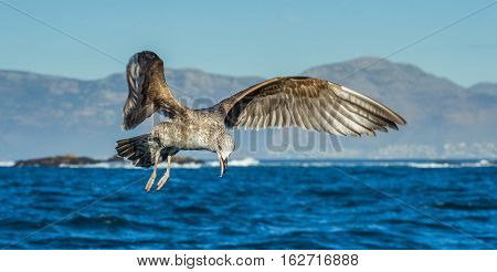 Flying Juvenile Kelp gull (Larus dominicanus) also known as the Dominican gull and Black Backed Kelp Gull. Blue ocean water background. False Bay South Africa
