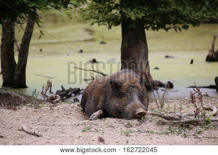 Wild Boar (sus Scrofa) Sleeping In The Dirt