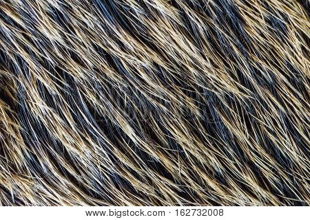Boar fur texture, wildlife animal, close up.