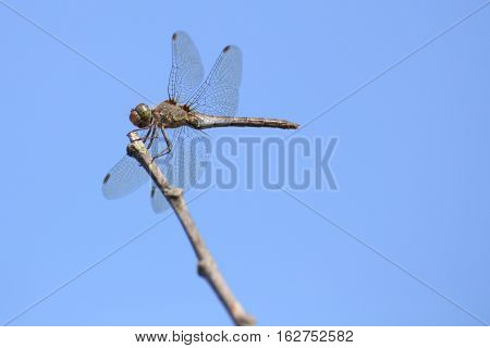 Common Darter (sympetrum Striolatum) Sitting On A Twig