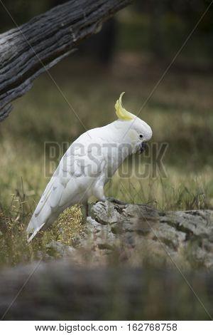 Wild Sulphur-crested Cockatoo (cacatua Galerita)