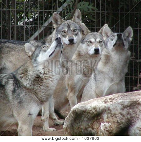 Wolves Waiting For Prey
