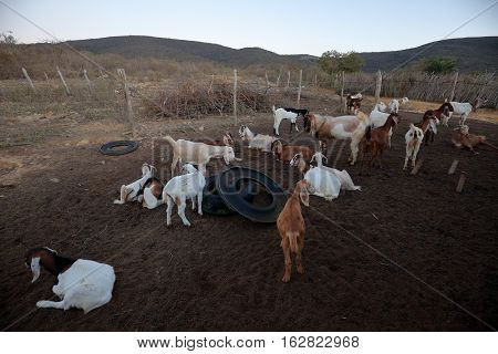 Goats in the goat shed of the caatinga in brazil