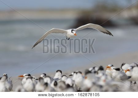 Royal Tern Landing In A Group Of Birds - Florida