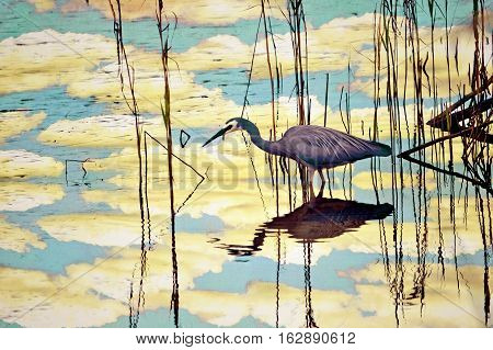 Reflection of clouds and an Australian White-faced Heron, Egretta novaehollandiae, wading through reeds and aerial mangrove roots in a river. Textured, filtered photo illustration.