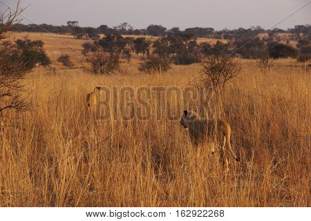 two lionesses are walking in the morning light in the african grass savannah in the background the typical African acacia tree