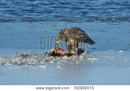Juvenile Bald Eagle eating the remains of a Canada Goose on the ice of frozen lake