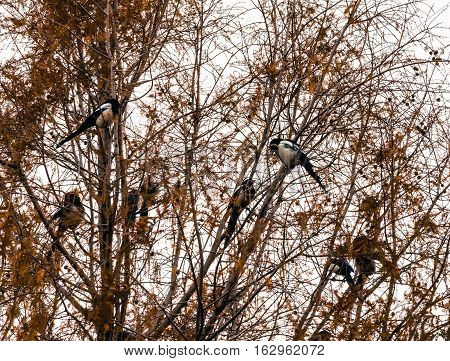 flock of magpies roosting in the branches of a large tree with fall colored leaves