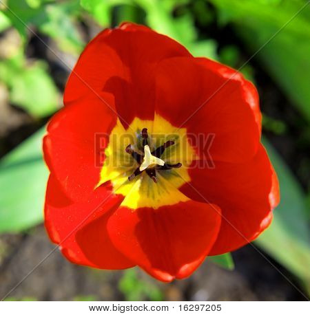 The red dismissed tulip