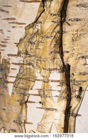 texture black background white tree bark birch