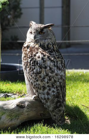 Owl In Zoo