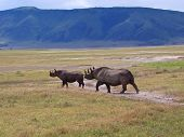 Rhinocero Mother And Her Baby In The Wild African Savanna, Ngorongoro Park, Tanzania