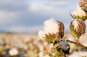 pic of boll  - Close up of cotton in the field and sky - JPG