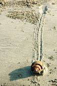 image of mollusca  - Slow moving snail Mollusca Gastropoda with trail on a sandy beach - JPG