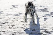 stock photo of english setter  - An English Setter running in the snow - JPG