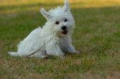 West Highland White Terrier Whelp poster