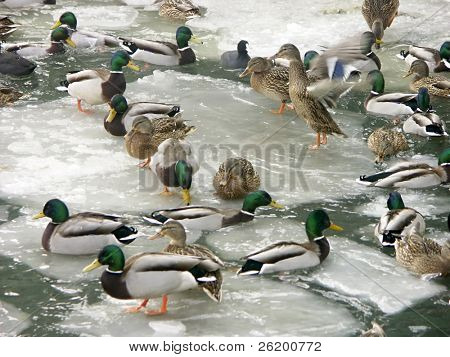 Flock of ducks in icy water
