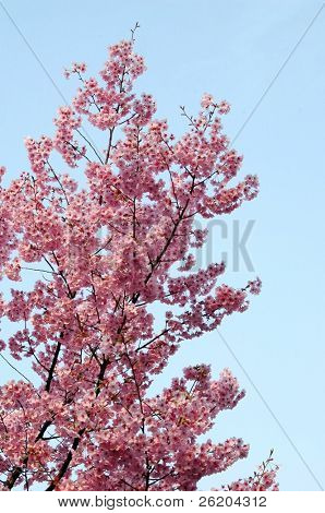 Pink cherry blossoming in Ueno Park, Tokyo