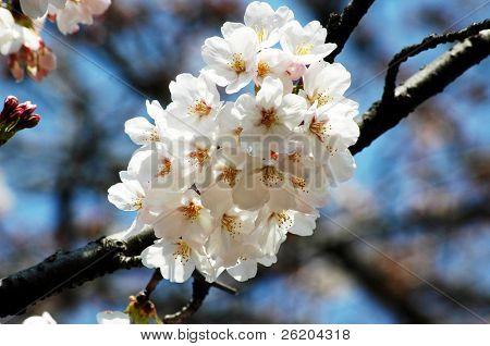 White sakura blossoming in Tokyo