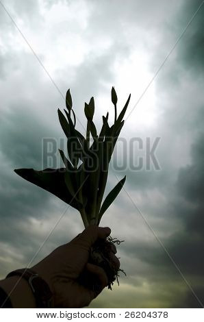 Silhouette of tulips in a hand against cloudy sky,  conceptual of strive to survive