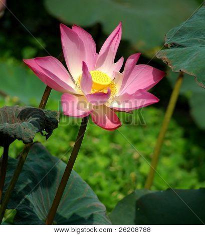 Japanese pink lotus in full bloom