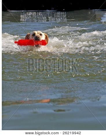 A female White Labrador dog retrieving toy from pool