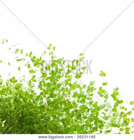 Nertera (coral Bead Plant, Pin-cushion Plant, Bead Plant)