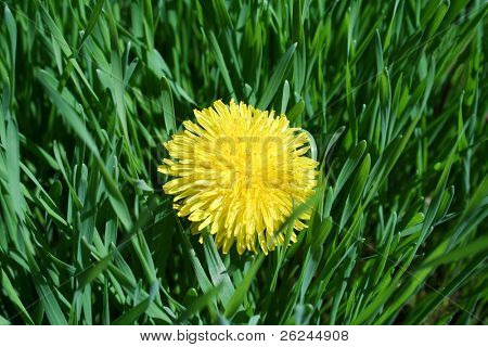 Single dandelion in the yard