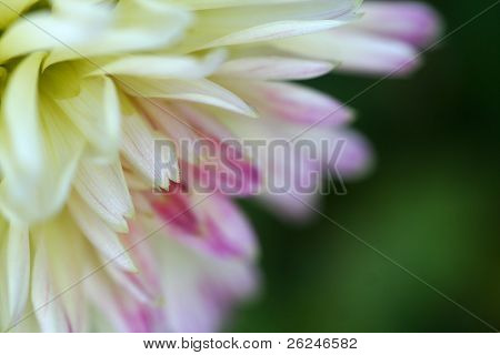 Dahlia corner with shallow depth of field