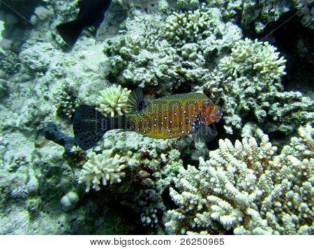the boxfish is a box shaped fish