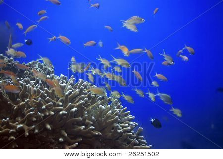 Underwater landscape with Scalefin Anthias and soft coral. Sipadan