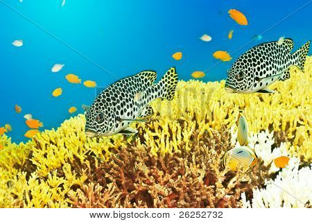 Underwater landscape with couple of Sweetlips