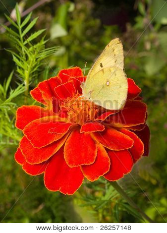 cabbage butterfly on marigold flower