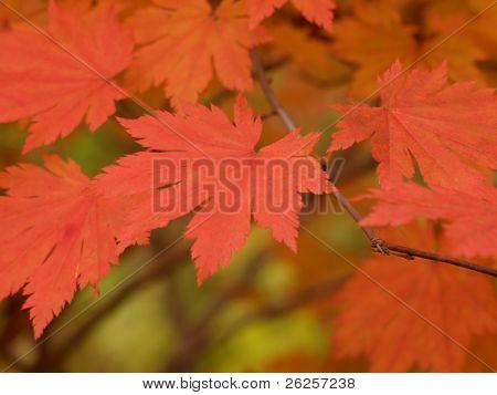 Maple leaves Branch weichen Makro