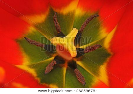 inners of tulip macro