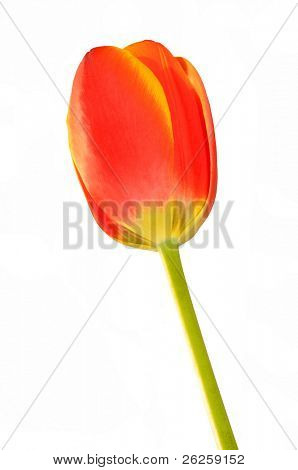 red tulip bud isolated on white