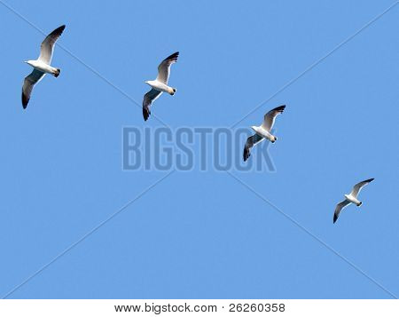 group of seagull birds following the leader. team concept